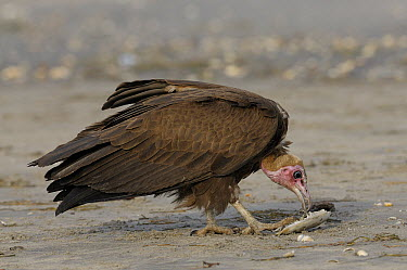 Hooded Vulture (Necrosyrtes monachus) scavenging, Gambia  -  David Williams/ BIA
