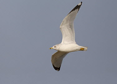Ring-billed Gull (Larus delawarensis), Ohio  -  Robert Royse/ BIA