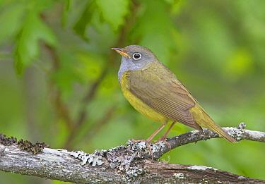 Connecticut Warbler (Oporornis agilis), Wisconsin  -  Robert Royse/ BIA