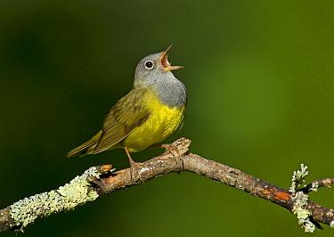 Connecticut Warbler (Oporornis agilis) singing, Wisconsin  -  Robert Royse/ BIA