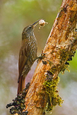 Montane Woodcreeper (Lepidocolaptes lacrymiger) carrying spider prey, Ecuador  -  Glenn Bartley/ BIA
