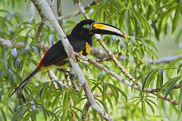 Many-banded Aracari (Pteroglossus pluricinctus), Ecuador  -  Glenn Bartley/ BIA