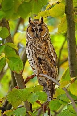 Long-eared Owl (Asio otus), Solothurn, Switzerland  -  Patrick Donini/ BIA
