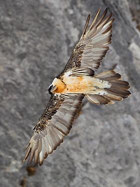 Bearded Vulture (Gypaetus barbatus) flying, Bern, Switzerland  -  Ingo Waschkies/ BIA