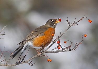 American Robin (Turdus migratorius) male eating berries, Ohio  -  Robert Royse/ BIA