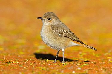 Familiar Chat (Cercomela familiaris), Hardap, Namibia  -  Mathias Schaef/ BIA