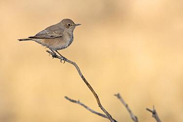 Familiar Chat (Cercomela familiaris), Kgalagadi Transfrontier Park, South Africa  -  Mathias Schaef/ BIA