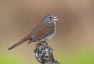 Sooty Fox Sparrow (Passerella iliaca unalaschcensis), Alaska  -  Robert Royse/ BIA