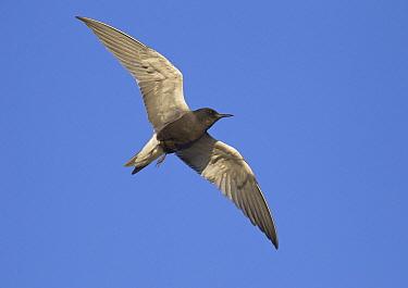 Black Tern (Chlidonias niger), North Dakota  -  Robert Royse/ BIA