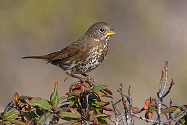 Sooty Fox Sparrow (Passerella iliaca unalaschcensis), California  -  Robert Royse/ BIA
