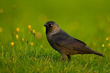 Eurasian Jackdaw (Corvus monedula), Schleswig-Holstein, Germany  -  Ralph Martin/ BIA