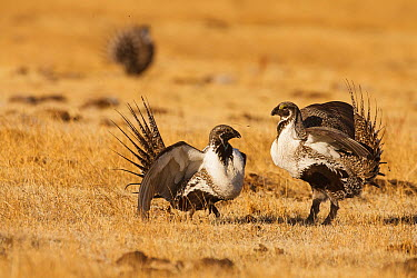 Sage Grouse (Centrocercus urophasianus) males in competition at lek, Mono County, California  -  Bob Steele/ BIA