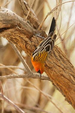Streak-backed Oriole (Icterus pustulatus) vagrant, San Bernardino County, California  -  Bob Steele/ BIA