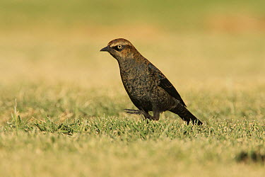 Rusty Blackbird (Euphagus carolinus) vagrant, Inyo County, California  -  Bob Steele/ BIA