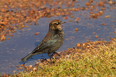 Rusty Blackbird (Euphagus carolinus) vagrant, Kern County, California  -  Bob Steele/ BIA