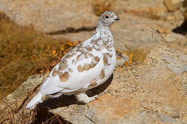 White-tailed Ptarmigan (Lagopus leucura), Mono County, California  -  Bob Steele/ BIA
