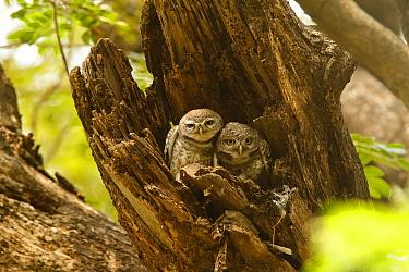 Spotted Owlet (Athene brama) pair in tree trunk, Bangkok, Thailand  -  Bob Steele/ BIA