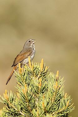 Thick-billed Fox Sparrow (Passerella iliaca megarhyncha) singing, Mono County, California  -  Bob Steele/ BIA