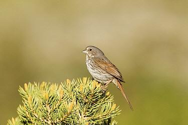 Thick-billed Fox Sparrow (Passerella iliaca megarhyncha), Mono County, California  -  Bob Steele/ BIA