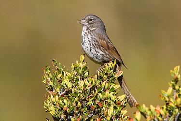Thick-billed Fox Sparrow (Passerella iliaca megarhyncha), Inyo County, California  -  Bob Steele/ BIA