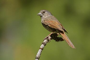 Thick-billed Fox Sparrow (Passerella iliaca megarhyncha), Mount Pinos, Kern County, California  -  Bob Steele/ BIA