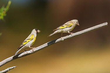 Lawrence's Goldfinch (Carduelis lawrencei) female, Ventura County, California  -  Bob Steele/ BIA