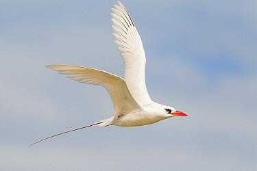 Red-tailed Tropicbird (Phaethon rubricauda), Midway Atoll, Hawaii  -  Bob Steele/ BIA