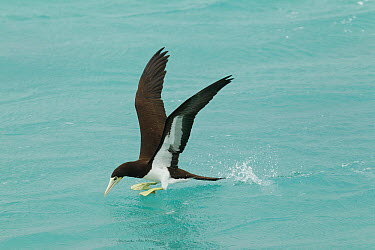 Brown Booby (Sula leucogaster) landing, Midway Atoll, Hawaii  -  Bob Steele/ BIA