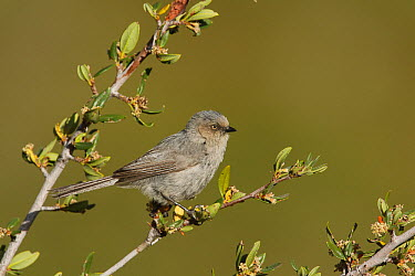 Bushtit (Psaltriparus minimus) female, Inyo County, California  -  Bob Steele/ BIA