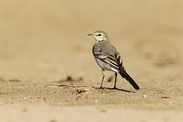 White Wagtail (Motacilla alba) vagrant, Los Angeles County, California  -  Bob Steele/ BIA