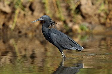 Black Heron (Egretta ardesiaca), Gambia  -  David Williams/ BIA