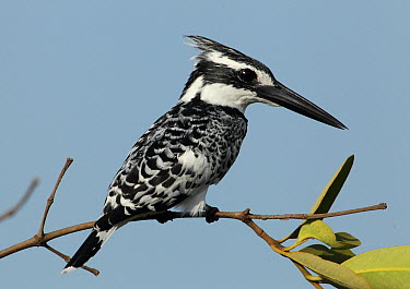 Pied Kingfisher (Ceryle rudis), Gambia  -  David Williams/ BIA