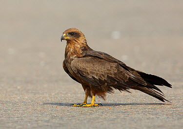Black Kite (Milvus migrans), Gambia  -  David Williams/ BIA