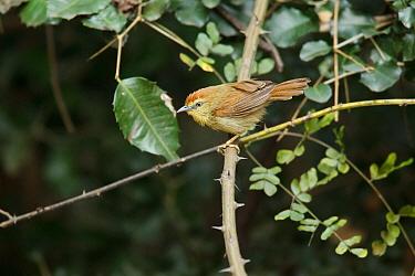 Pin-striped Tit-Babbler (Macronus gularis), Kaeng Krachan, Thailand  -  Bob Steele/ BIA