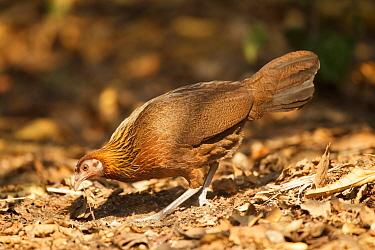 Red Junglefowl (Gallus gallus), Thailand  -  Bob Steele/ BIA