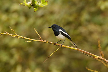 Oriental Magpie-Robin (Copsychus saularis) male, Fraser's Hill, Malaysia  -  Bob Steele/ BIA
