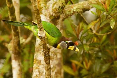 Fire-tufted Barbet (Psilopogon pyrolophus), Fraser's Hill, Malaysia  -  Bob Steele/ BIA