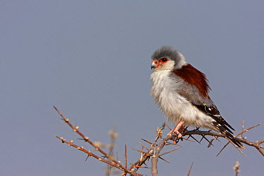 Pygmy Falcon (Polihierax semitorquatus), Etosha National Park, Namibia  -  Christine Jung/ BIA