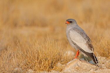 Pale Chanting-Goshawk (Melierax canorus), Etosha National Park, Namibia  -  Christine Jung/ BIA