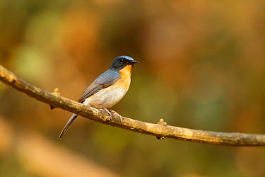 Tickell's Blue-Flycatcher (Cyornis tickelliae) male, Kaeng Krachan, Thailand  -  Bob Steele/ BIA