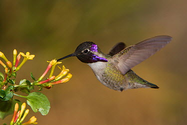 Costa's Hummingbird (Calypte costae) male feeding on nectar, Kern County, California  -  Bob Steele/ BIA