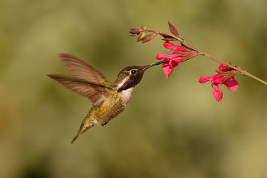 Costa's Hummingbird (Calypte costae) feeding on nectar, Kern County, California  -  Bob Steele/ BIA