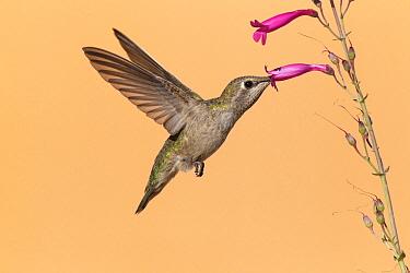 Costa's Hummingbird (Calypte costae) female feeding on nectar, Kern County, California  -  Bob Steele/ BIA