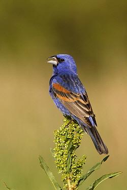 Blue Grosbeak (Passerina caerulea) male singing, Kern County, California  -  Bob Steele/ BIA