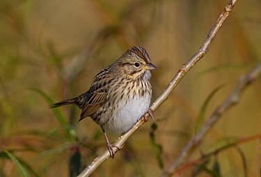 Lincoln's Sparrow (Melospiza lincolnii), Ohio  -  Robert Royse/ BIA