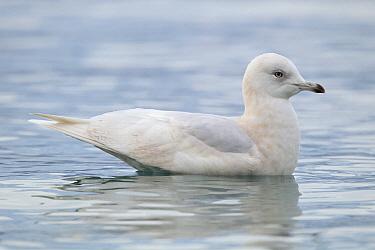 Iceland Gull (Larus glaucoides) juvenile, Bern, Switzerland  -  Patrick Donini/ BIA