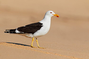 Kelp Gull (Larus dominicanus), Victoria, Australia  -  Jan Wegener/ BIA