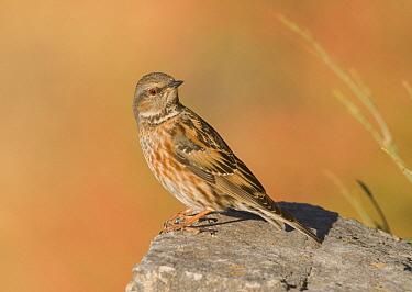 Rufous-streaked Accentor (Prunella himalayana), Uttarakhand, India  -  Satyendra Sharma/ BIA