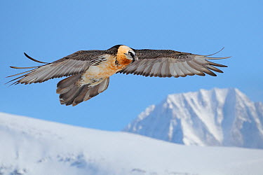 Bearded Vulture (Gypaetus barbatus), Wallis, Switzerland  -  Patrick Donini/ BIA