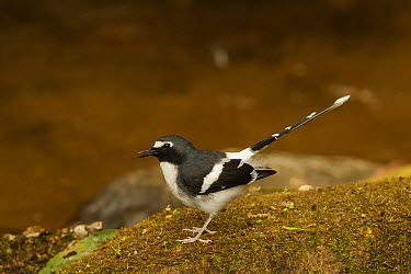 Slaty-backed Forktail (Enicurus schistaceus), Doi Inthanon National Park, Thailand  -  Bob Steele/ BIA